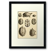 The Reptiles of British India by Albert C L G Gunther 1864 0487 Cuora Amroinensis, Pangshura Tentoria, Pyxidea Mouhoutii, Emys Crassicolis Turtle Framed Print