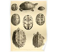The Reptiles of British India by Albert C L G Gunther 1864 0487 Cuora Amroinensis, Pangshura Tentoria, Pyxidea Mouhoutii, Emys Crassicolis Turtle Poster