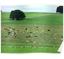 Dairy herd resting - South Purrumbete, Vic. Poster