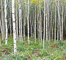 Birch Forest by SherbrookePhoto