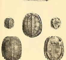 The Reptiles of British India by Albert C L G Gunther 1864 0483 Geormyda Grandis Turtle by wetdryvac