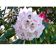 A Hint Of Pink .. Rhododendron Bush Photographic Print