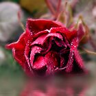 Red rose by Ann Persse