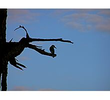 patient kingfisher in the early evening Photographic Print