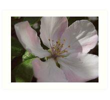 Quince blossoms Art Print