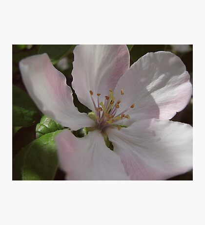Quince blossoms Photographic Print