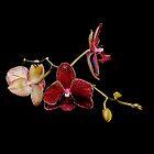 Orchid on Black by Marilyn O'Loughlin