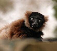 Ruffed Lemur by LisaRoberts