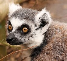 Ring-tailed Lemur by LisaRoberts