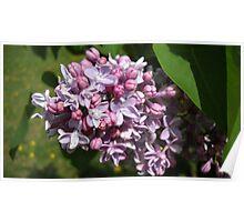 I'm Lovin My Lilacs! Poster