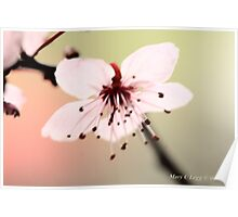 Transparent pink  cherry blossoms Poster