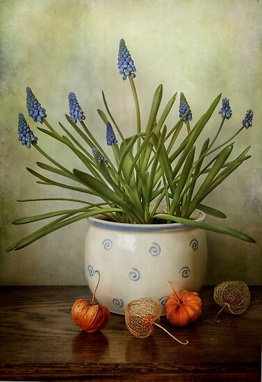 Muscari by Mandy Disher