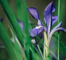 Wild Iris by Phillip M. Burrow