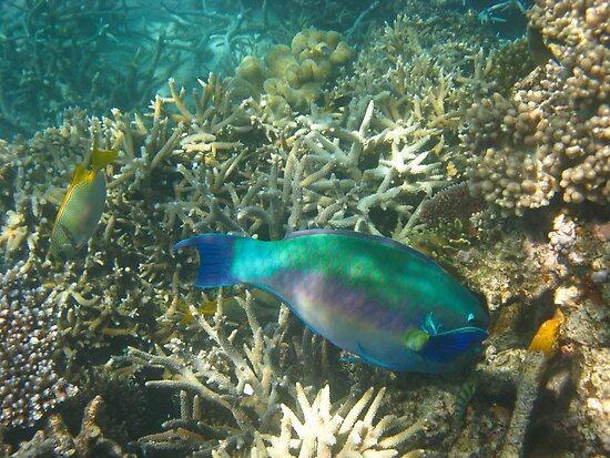 Klunzingre's Wrasse in Great Barrier Reef by richx99