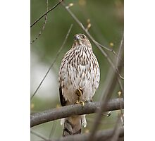 Coopers Hawk on Guard Photographic Print