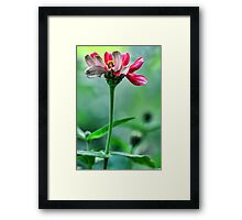 A Red Potted Zinnia - Bridgton,  Maine Framed Print