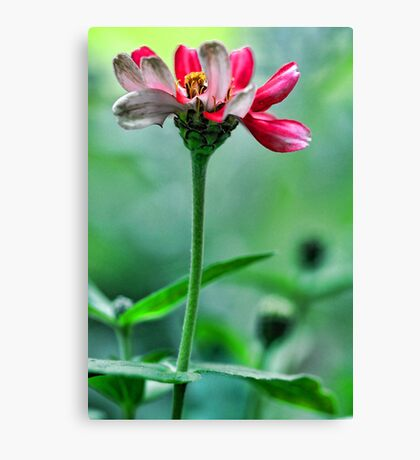 A Red Potted Zinnia - Bridgton,  Maine Canvas Print
