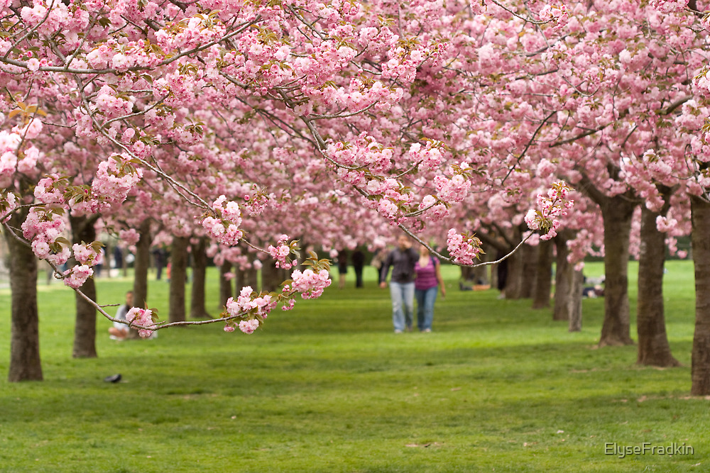 Love and Cherry Blossoms by ElyseFradkin