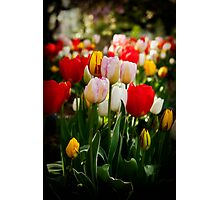 From the tulip patch Photographic Print