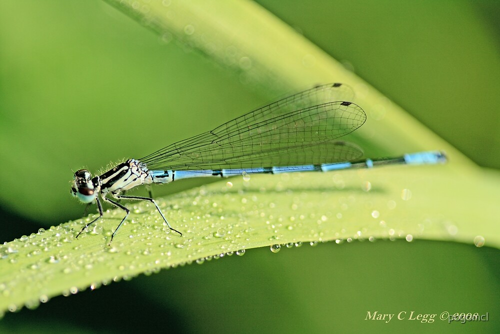 Male Azure Damselfly coenagrion puella on a blade of grass covered with raindrops by pogomcl