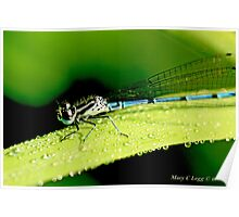 Male Azure Damselfly coenagrion puella on a blade of grass covered with raindrops Poster
