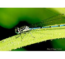 Male Azure Damselfly coenagrion puella on a blade of grass covered with raindrops Photographic Print
