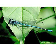 Male Azure Damselfly coenagrion puella on elderberry leaf Photographic Print