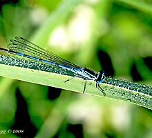 Male Azure Damselfly coenagrion puella on blade of grass covered with raindrops by pogomcl