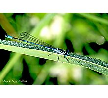 Male Azure Damselfly coenagrion puella on blade of grass covered with raindrops Photographic Print