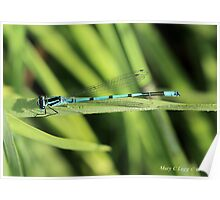 Male Azure Damselfly coenagrion puella on blade of grass Poster