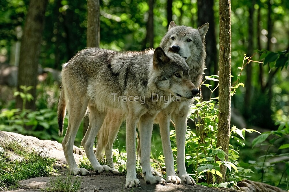 Whisper Sweet Nothing - Timberwolves  by Tracey  Dryka