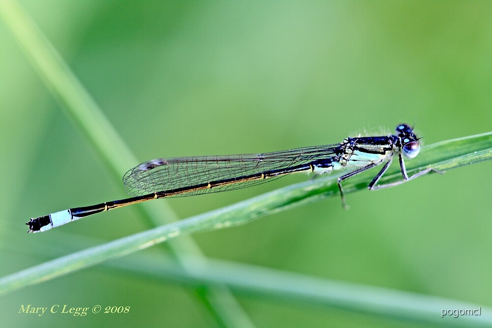 Ischnura elegans Male Common Bluetail Damselfly on a grass blade by pogomcl