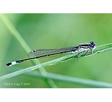 Ischnura elegans Male Common Bluetail Damselfly on a grass blade Photographic Print