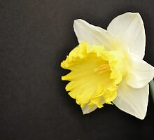 Soft Yellow Daffodil by Kathleen Brant