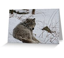 Timberwolf - Parc Omega, Montebello Greeting Card