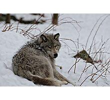 Timberwolf - Parc Omega, Montebello Photographic Print