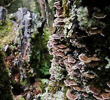 Fan shaped Fungi, Waldheim, Cradle Mountain, Australia. by kaysharp