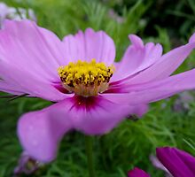 Tuesday Cosmos in Purple & Pink by Vanessa  Warren