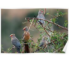 Redfaced Mousebird - Addo National Park Poster