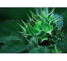 Sunflower Bud Photographic Print