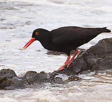 African Black Oystercatcher busy with his every day feeding in the environment. by Carel du Preez