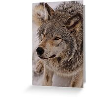 What Big eyes you have Grandma!!  - Timberwolf  Greeting Card