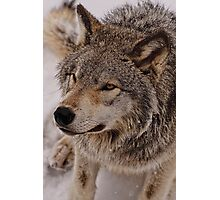 What Big eyes you have Grandma!!  - Timberwolf  Photographic Print