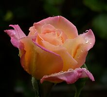 Rose by TimJ