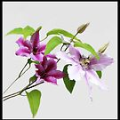 Clematis by vette
