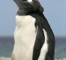 gentoo penguin by Stephen Kane