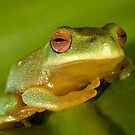 Litoria chloris by Steve Axford