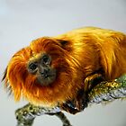 Golden Lion Monkey by Simon Duckworth