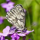 Marbled White by jesika