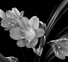 Mother's Clivia Lily by Sandra Foster